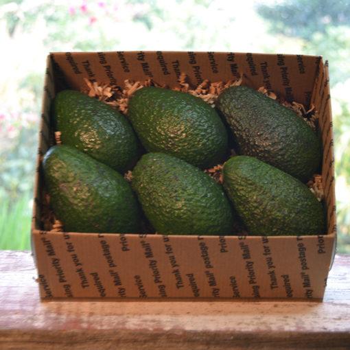 rossi ranch avocados california hass family farm